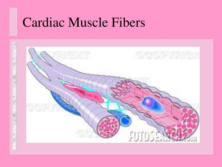 Cardiac Muscle Fibers