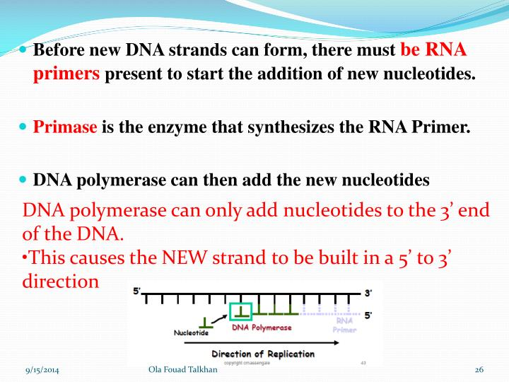 Before new DNA strands can form, there must