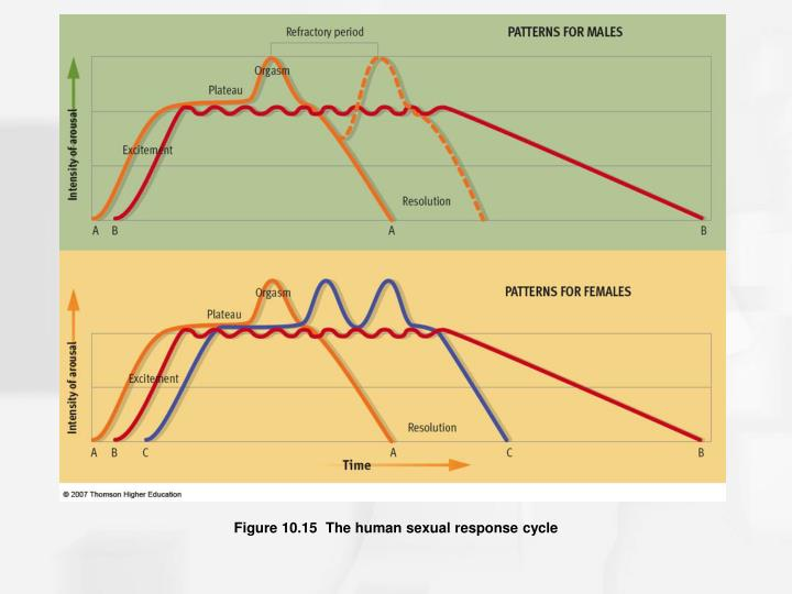 Figure 10.15  The human sexual response cycle