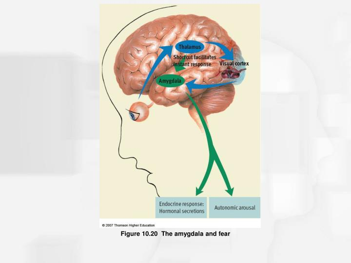 Figure 10.20  The amygdala and fear