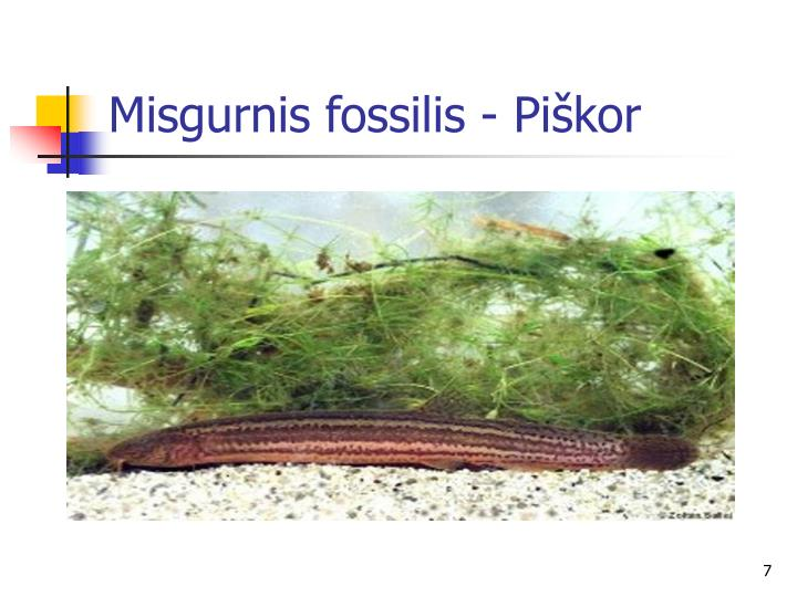 Misgurnis fossilis - Piškor