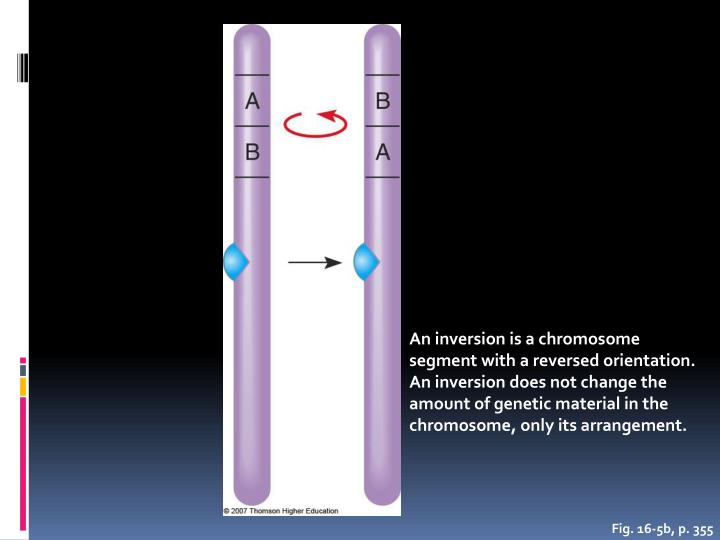 An inversion is a chromosome segment with a reversed orientation. An inversion does not change the amount of genetic material in the chromosome, only its arrangement.