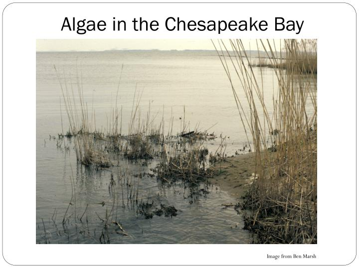 Algae in the Chesapeake Bay