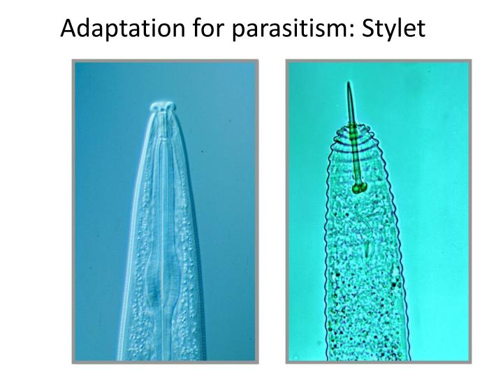 Adaptation for parasitism: Stylet