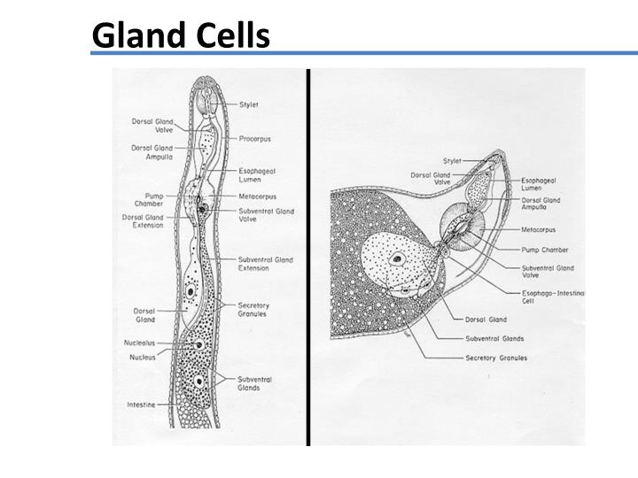 Gland Cells