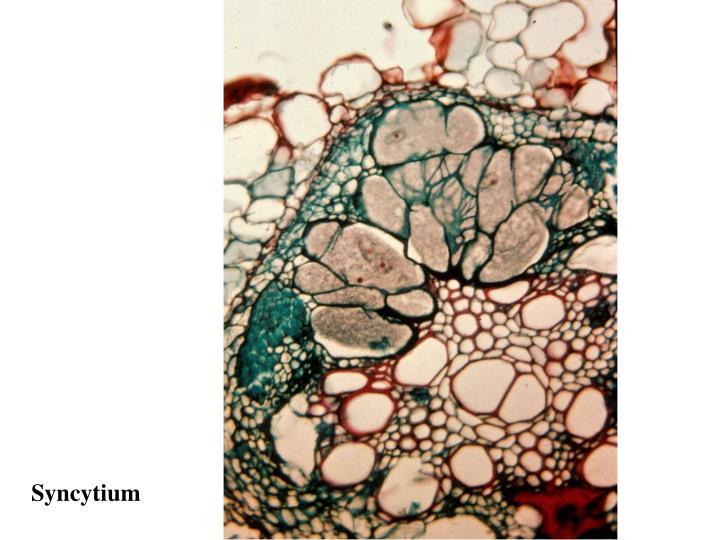Syncytium