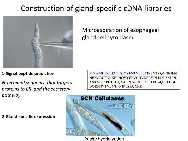 SCN Cellulases
