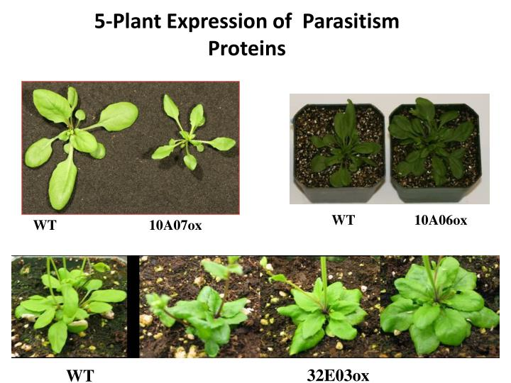 5-Plant Expression of  Parasitism Proteins