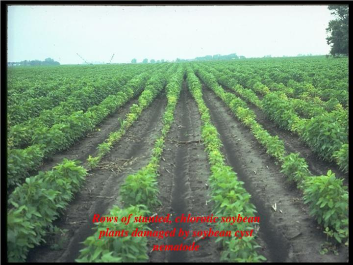 Rows of stunted, chlorotic soybean plants damaged by soybean cyst nematode