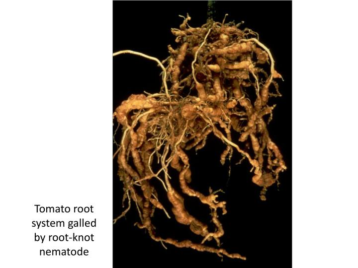 Tomato root system galled by root-knot nematode