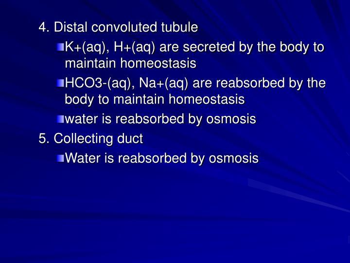 4. Distal convoluted tubule
