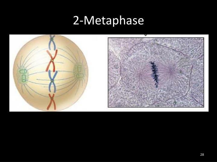 2-Metaphase
