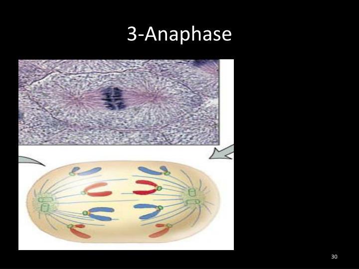 3-Anaphase