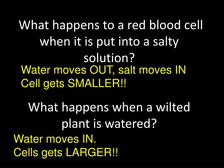What happens to a red blood cell when it is put into a salty solution?