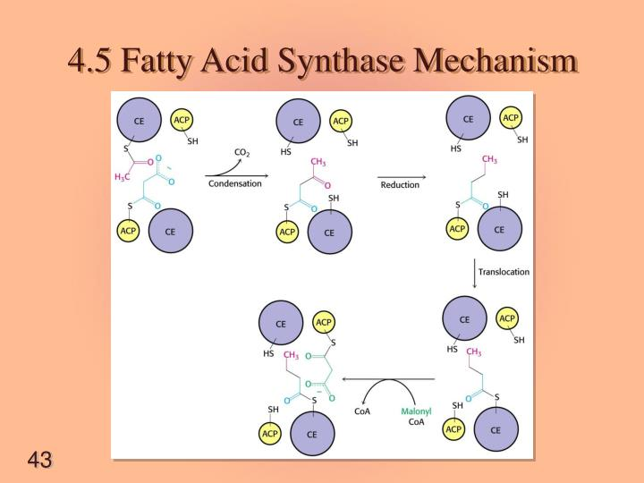 4.5 Fatty Acid Synthase Mechanism