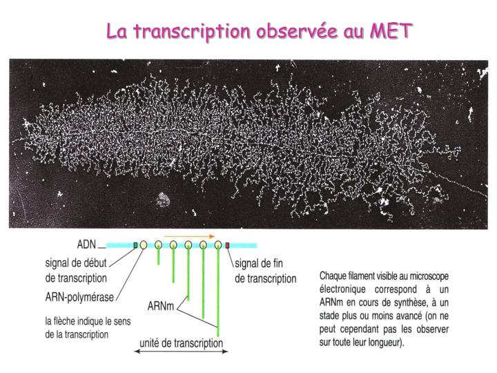 La transcription observée au MET
