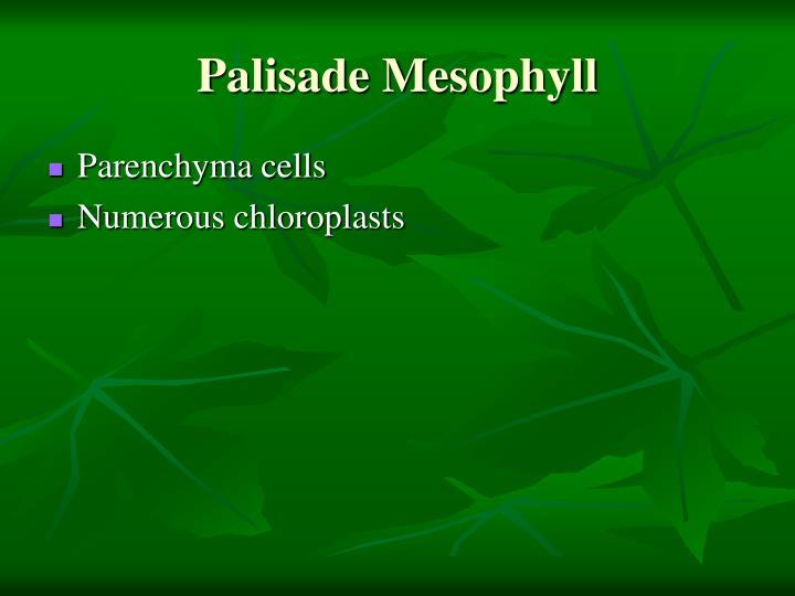 Palisade Mesophyll