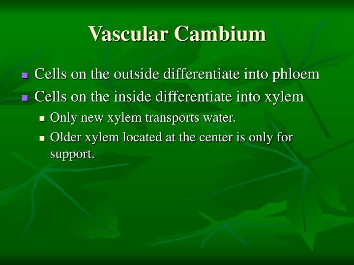 Vascular Cambium