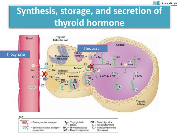 Synthesis, storage, and secretion of thyroid hormone