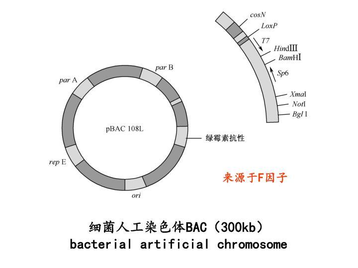细菌人工染色体