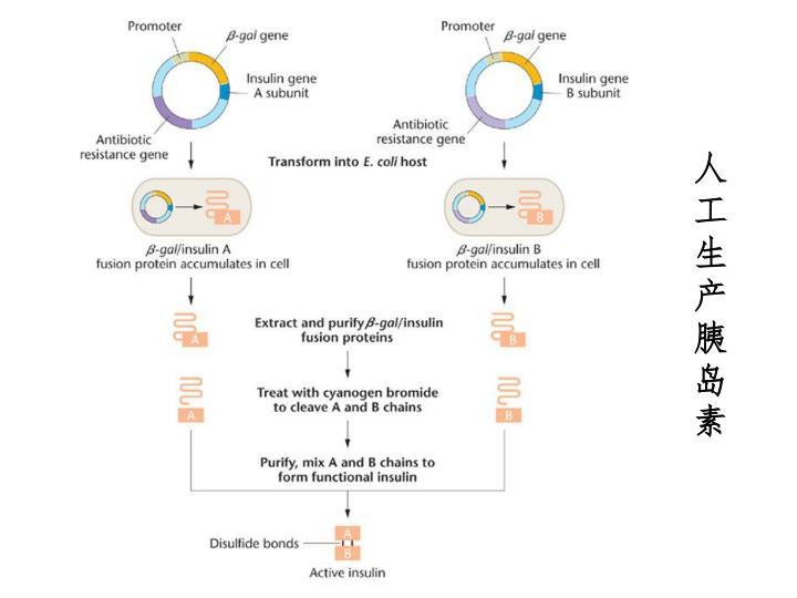 人工生产胰岛素