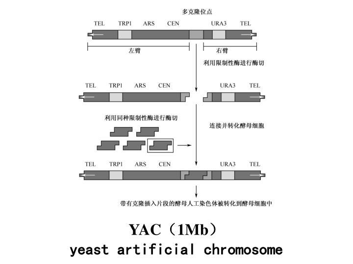 YAC(1Mb)