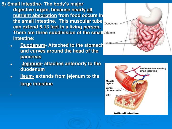 5) Small Intestine- The body's major digestive organ, because nearly