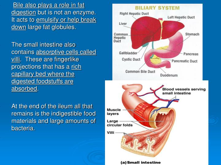 Bile also plays a role in fat digestion