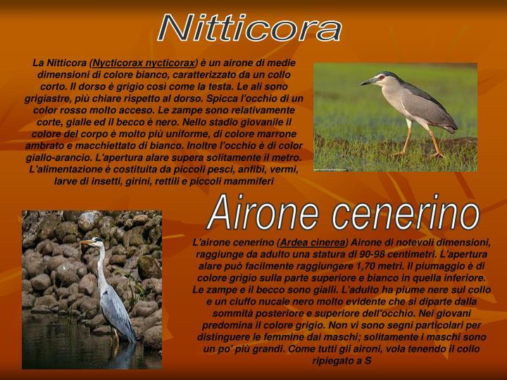 Nitticora