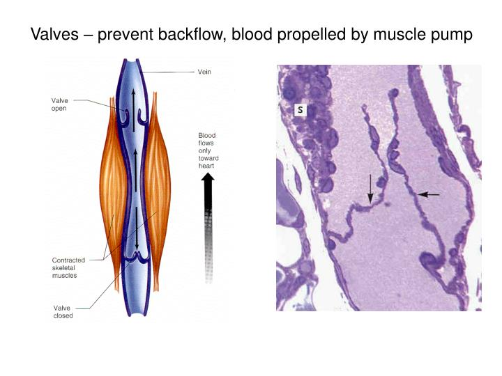 Valves – prevent backflow, blood propelled by muscle pump