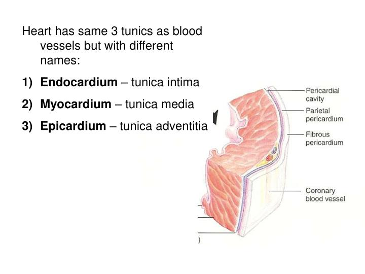 Heart has same 3 tunics as blood vessels but with different names: