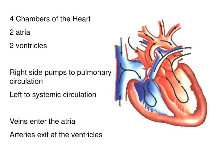 4 Chambers of the Heart