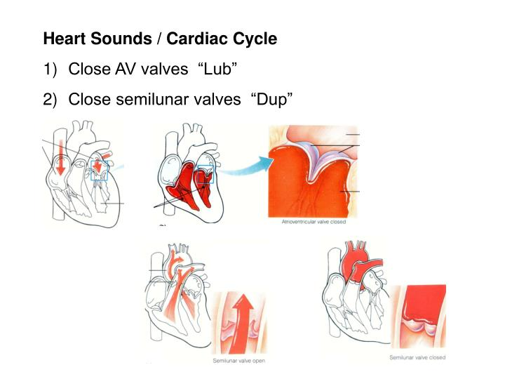 Heart Sounds / Cardiac Cycle