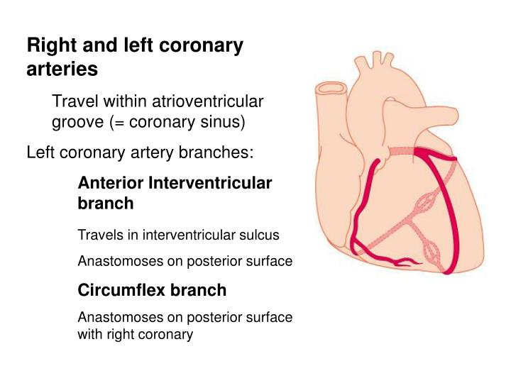Right and left coronary arteries