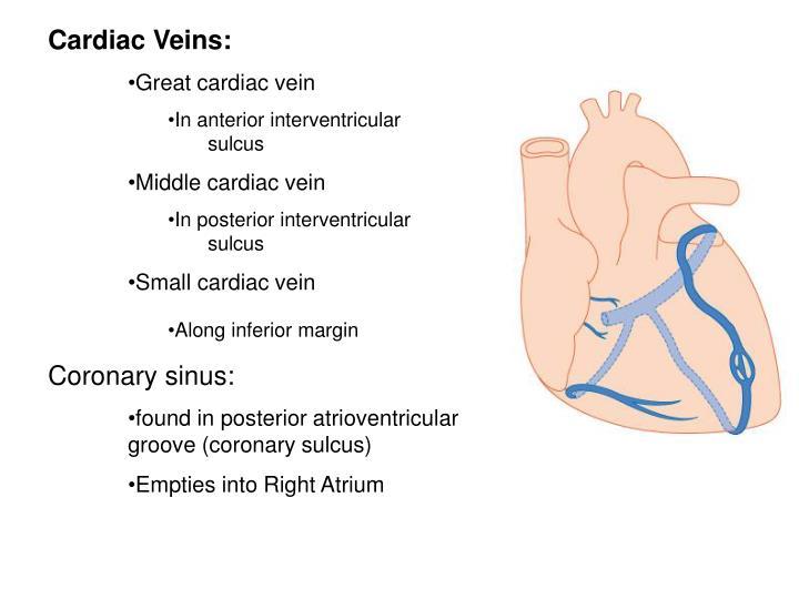 Cardiac Veins: