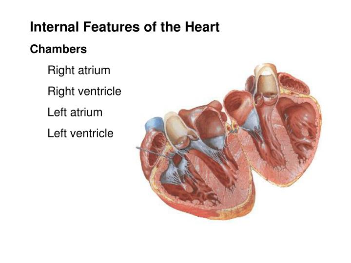 Internal Features of the Heart
