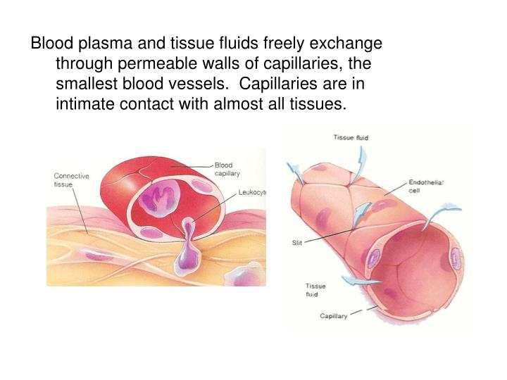 Blood plasma and tissue fluids freely exchange through permeable walls of capillaries, the smallest blood vessels.  Capillaries are in intimate contact with almost all tissues.