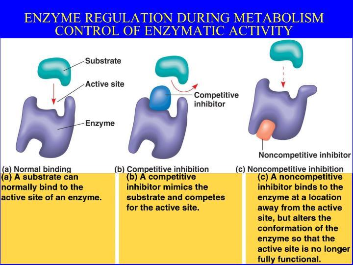 ENZYME REGULATION DURING METABOLISM