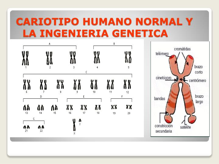 CARIOTIPO HUMANO NORMAL Y