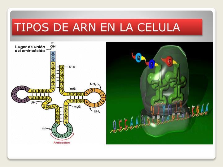 TIPOS DE ARN EN LA CELULA