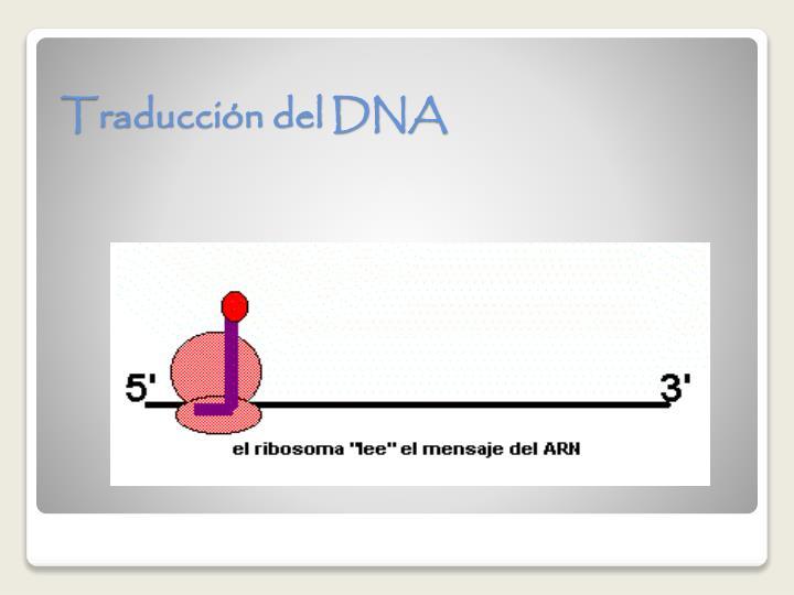 Traducción del DNA