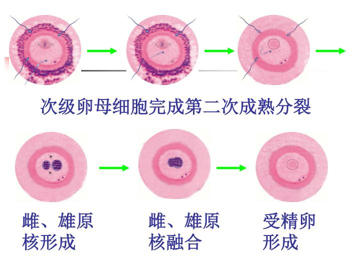 次级卵母细胞完成第二次成熟分裂
