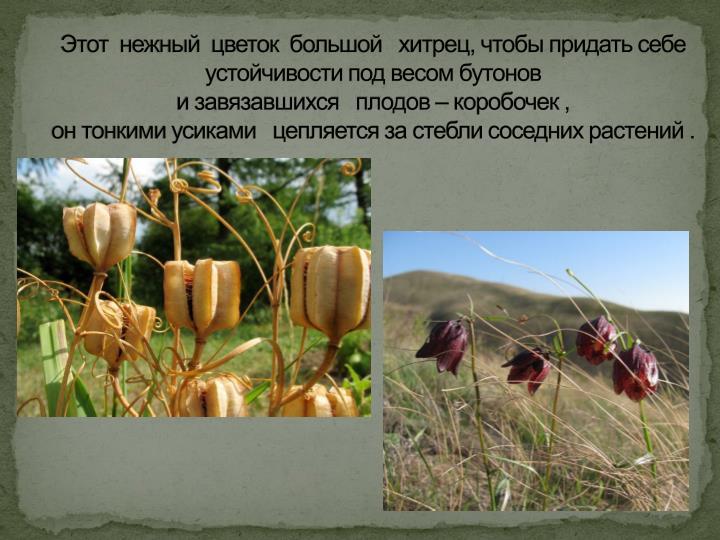 Этот  нежный  цветок  большой   хитрец, чтобы придать себе    устойчивости под весом бутонов