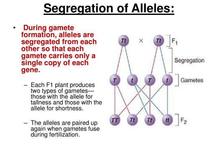 During gamete formation, alleles are segregated from each other so that each gamete carries only a single copy of each gene.