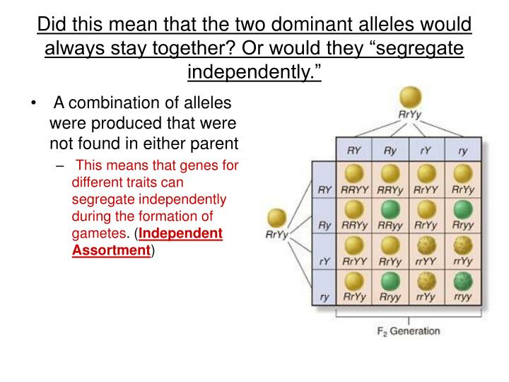 A combination of alleles  were produced that were not found in either parent