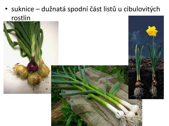 suknice – dužnatá spodní část listů u cibulovitých rostlin