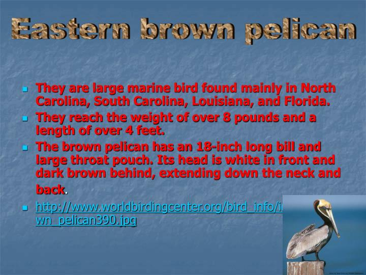 Eastern brown pelican