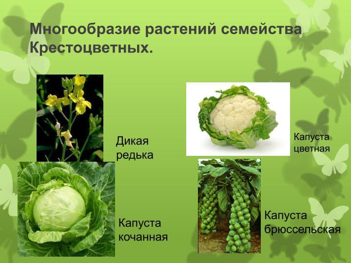 Многообразие растений семейства Крестоцветных.