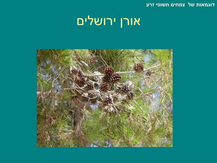 דוגמאות של  צמחים חשופי זרע