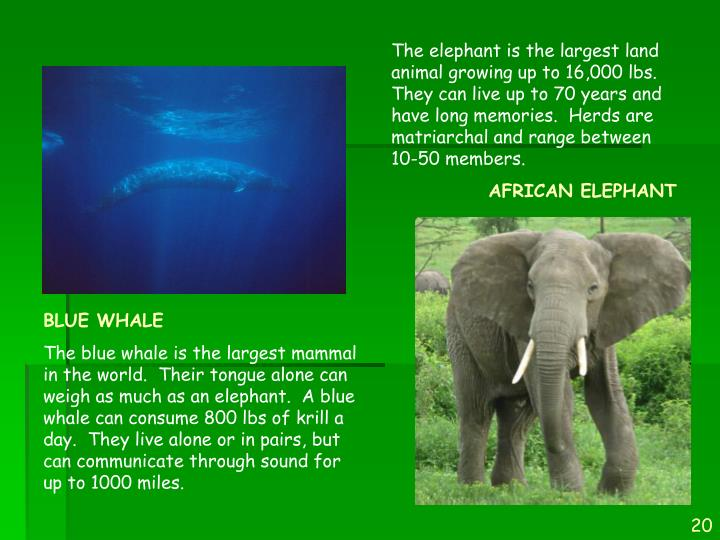 The elephant is the largest land animal growing up to 16,000 lbs.  They can live up to 70 years and have long memories.  Herds are matriarchal and range between 10-50 members.